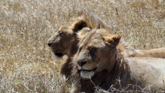 Kad lav voli